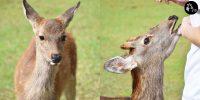 奈良 近距離接觸鹿仔